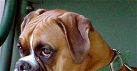 boxer lifespan expectancy in boxer dogs many