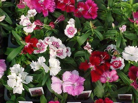 Bibit Bunga Carnation Flower Dianthus Wee Willie dianthus mix gallery