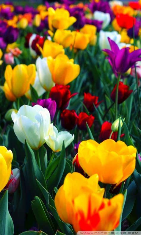 wallpaper for mobile colorful flower colorful flowers 4k hd desktop wallpaper for dual