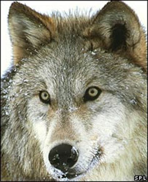 are dogs descended from wolves news science nature exploring the wolves in dogs clothing