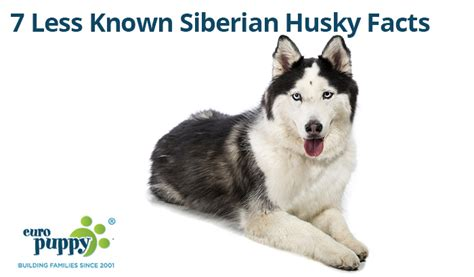 husky puppy facts 7 less known siberian husky facts europuppy