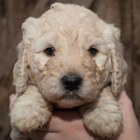 mini labradoodles seattle inland doodles loyal companion puppies