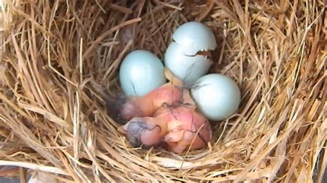 bluebird hatching doovi