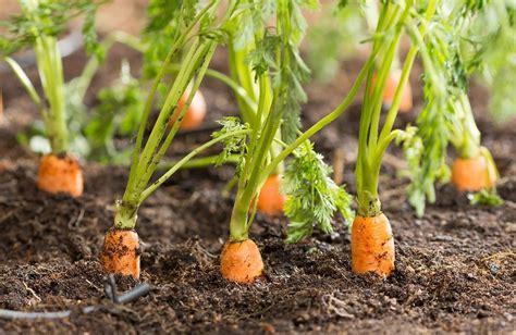 ¿Sabías que las Zanahorias no siempre fueron naranjas