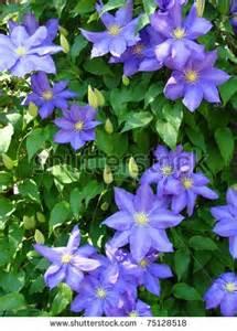 climbing vine purple flowers climbing vine with purple
