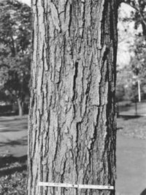 maple tree bark identification how to identify maple tree varieties lovetoknow