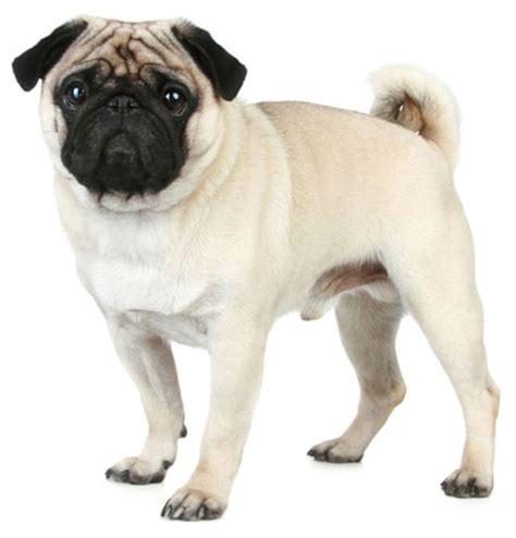 breeds similar to pugs pug