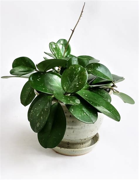houseplant vine hoya obovata shop specimen plants anthurium hoya and