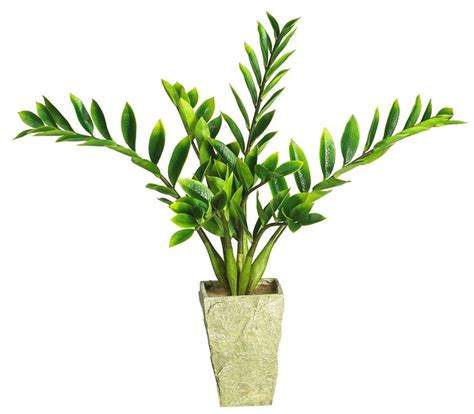 piante da interno zamia zamioculcas zamiifolia zamioculcas zamioculcas