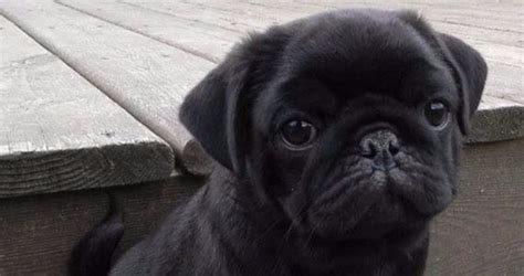 black pug puppies los angeles pug puppies for sale in los angeles