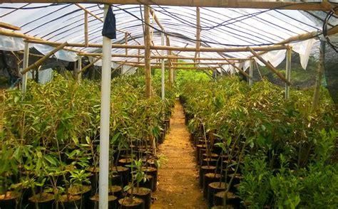 Bibit Jahe Merah Jember bibit durian