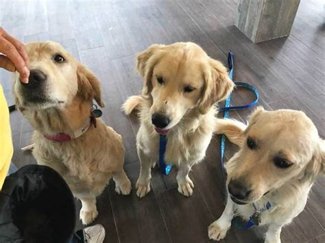 golden retrievers in turkey turkish golden retrievers rescued wptv