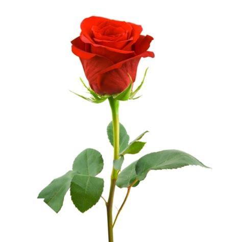 single roses single stem delivery