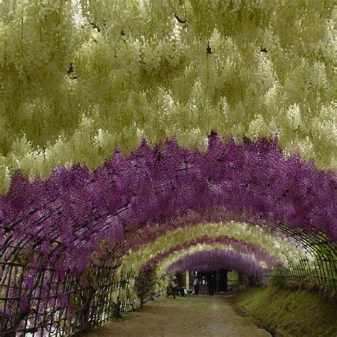 japan wisteria tunnel most beautiful gardens in the world page 3 skyscrapercity