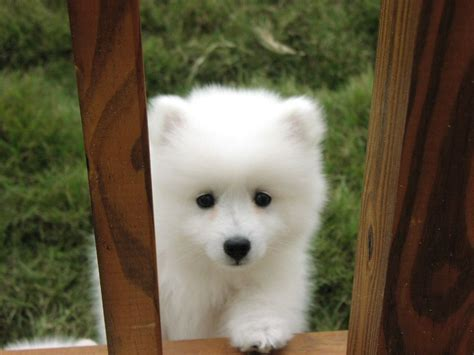 Do Spitz Shed by Japanese Spitz Not In The Housenot In The House