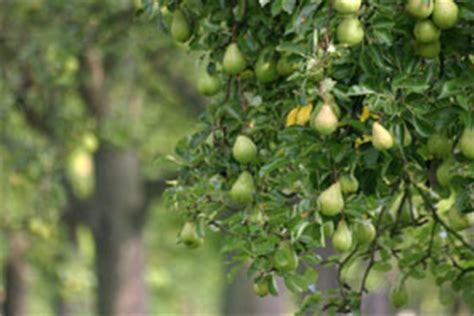 Green Apple Giwang birne parkett