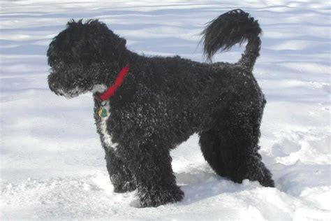 puppy water portuguese water breed information on portuguese water dogs