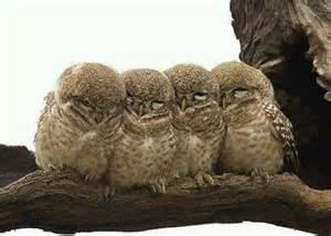 Barn Owl Owlets Barn Owls Things I Love Pinterest