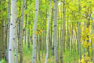 aspen tree aspen tree forest autumn time photograph by james bo insogna