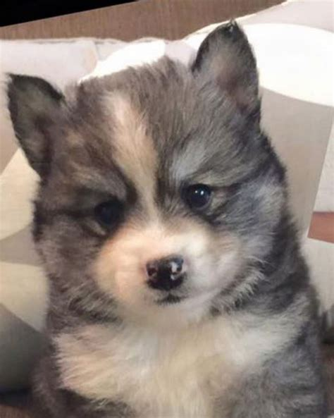 where can i get a pomeranian husky mix norman the pomeranian husky mix one puppy that will melt your