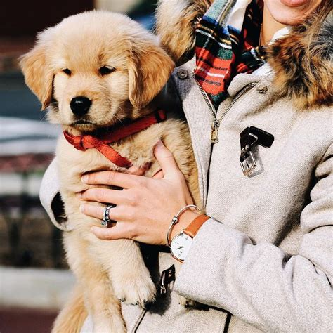 how fast can a golden retriever run 1000 ideas about puppy on