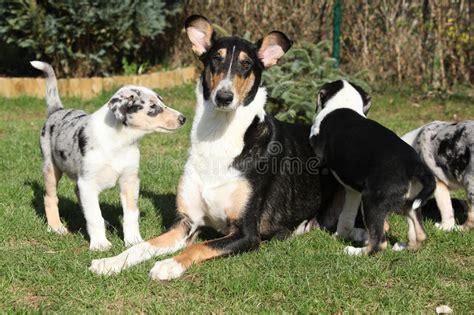 giardino di cagna cagna di collie smooth con i cuccioli nel giardino