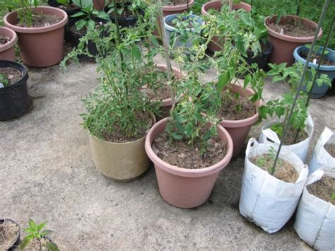 container gardening peppers category from the vine