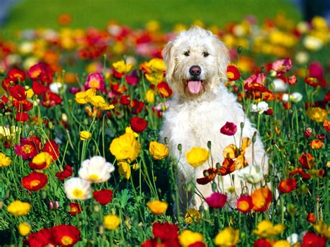 puppy flowers name wolfhound mix puppy in flower garden imgstocks