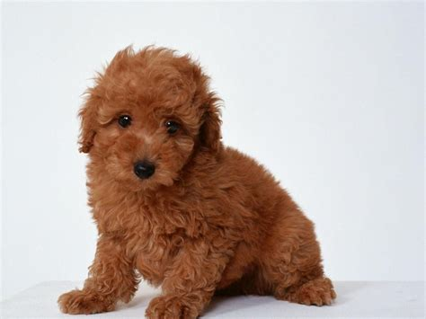 small toy toy poodle not in the dog housenot in the dog house