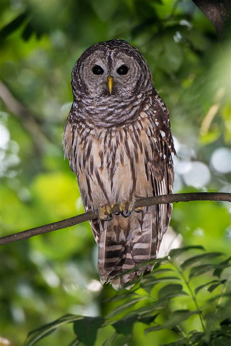 backyard barred owl wp3 photography