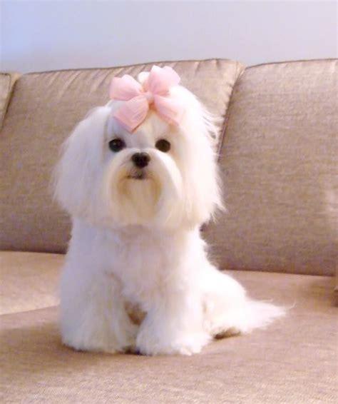 why has my maltese terrier got thin hair best 25 maltese haircut ideas on pinterest maltese