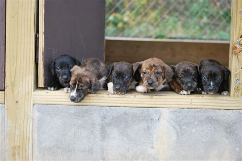 cur puppies mountain cur breed info facts temperament puppies pictures