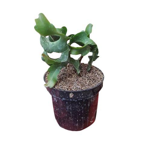 Daftar Bibit Buah Impian daftar harga kebun bibit buah ara tin abicou 40 cm