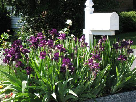 Iris Flower Garden Fall Flowers Around Mailboxes Img 0147 300x225 Mailbox Garden Idea 3 A Simple Iris Bed For