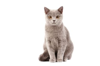 how long do cats live what is the life span of popular cat breeds pets world