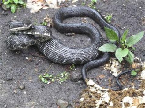 black and white diamond pattern snake black snake or cottonmouth moccasin htonroads com