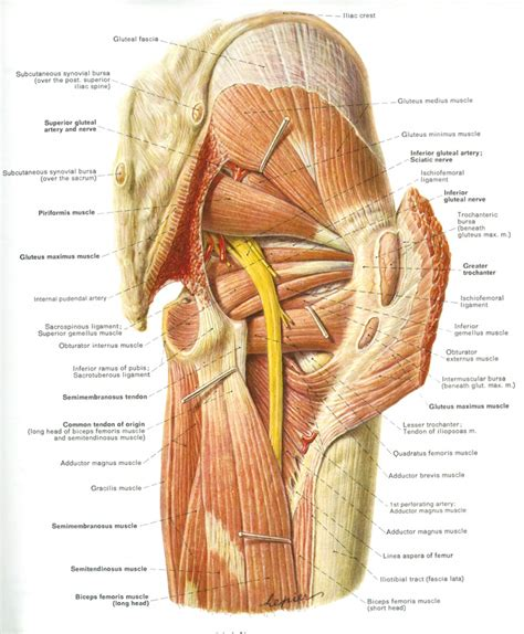 sciatic nerve diagram sciatic nerve anatomy picture human anatomy diagram