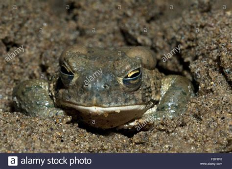 Toad In The Mud by Arizona Toad Anaxyrus Microscaphus Burrowing In Mud And