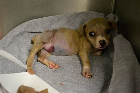 second of puppy three pound puppy on the brink of gets second chance at thanks to this