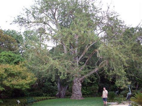 plantfiles pictures maidenhair tree ginkgo biloba by