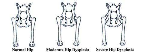 puppy hip dysplasia symptoms hip dysplasia