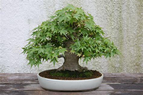 Bonsai Ficus Kaufen by Bonsai Kaufen