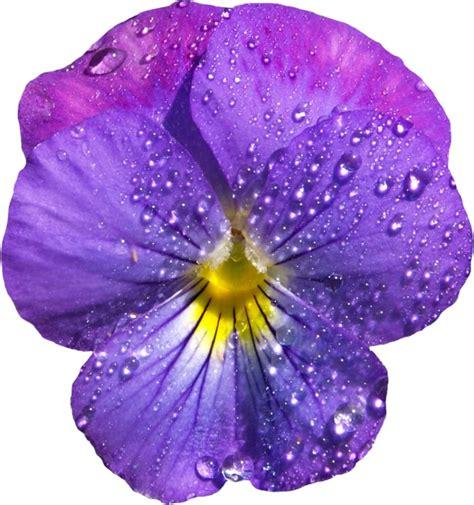 violets with dew on pics violets with dew on pics violets with dew on pics purple