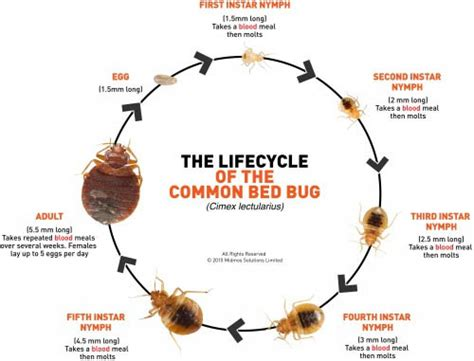 full grown bed bug bed bugs pest control call 212 563 0033