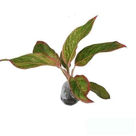 Aglaonema Widuri Bibit Tanaman Hias Daun Hidup Siap Kirim Bergaransi jual tanaman aglaonema manee lompek bibit