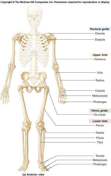 appendicular skeleton diagram anatomy 200 gt begg gt flashcards gt lecture 5 appendicular