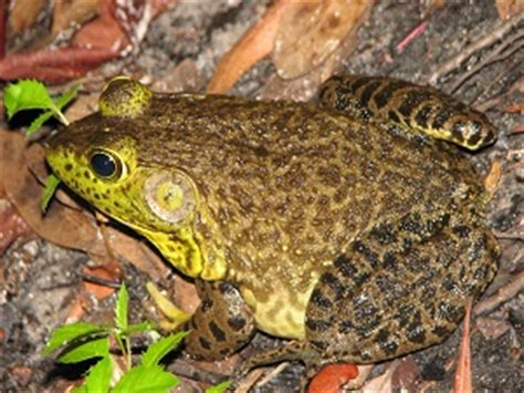Frogs Traditional Animal Foods Of Indigenous Peoples Of