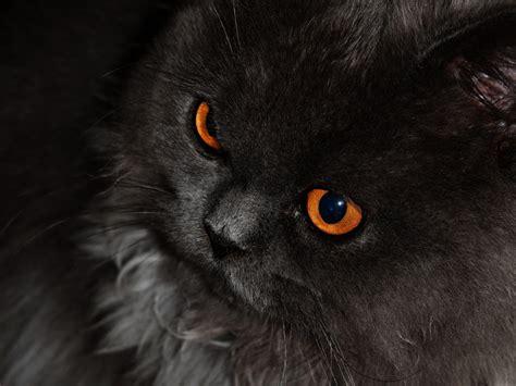 wallpaper chat black papel de parede gato preto de olhos laranjas wallpaper