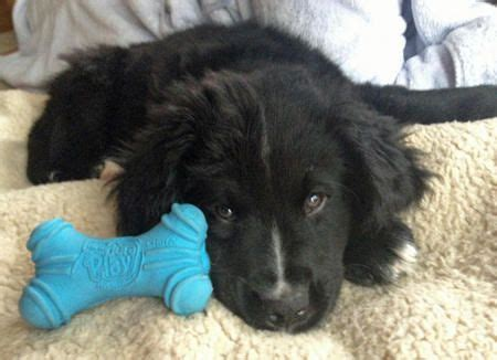 poodle mix puppies near me 17 best ideas about bernese mountain mix on great bernese great