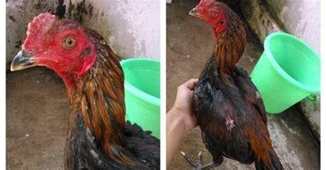 Anakan Ayam Bangkok Berkualitas jual ayam bangkok murah dan berkualitas jual anakan birma